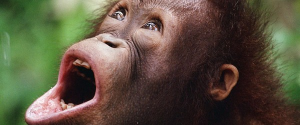 N°53 de ma liste de vie : les Orang Outans